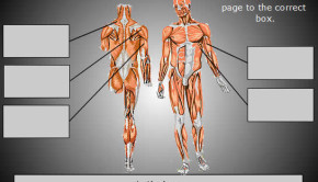 Interactive game to label the muscles in the human body